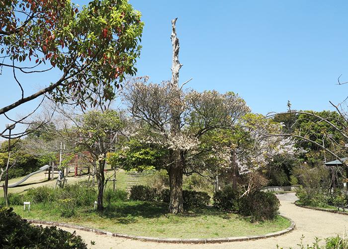 淡路島 曲田山の朽ち果てた木