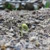 EM菌ボカシを枝豆畑の周囲にまいたら、蛆がぁ・・・