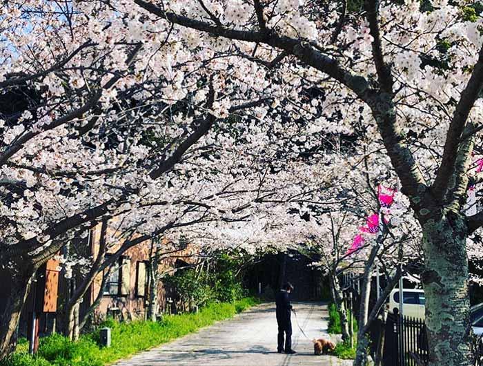 曲田山の桜