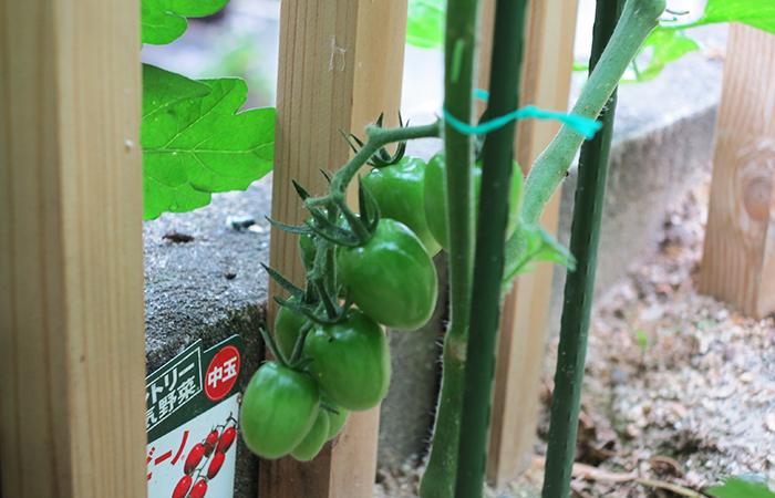 トマト 中玉