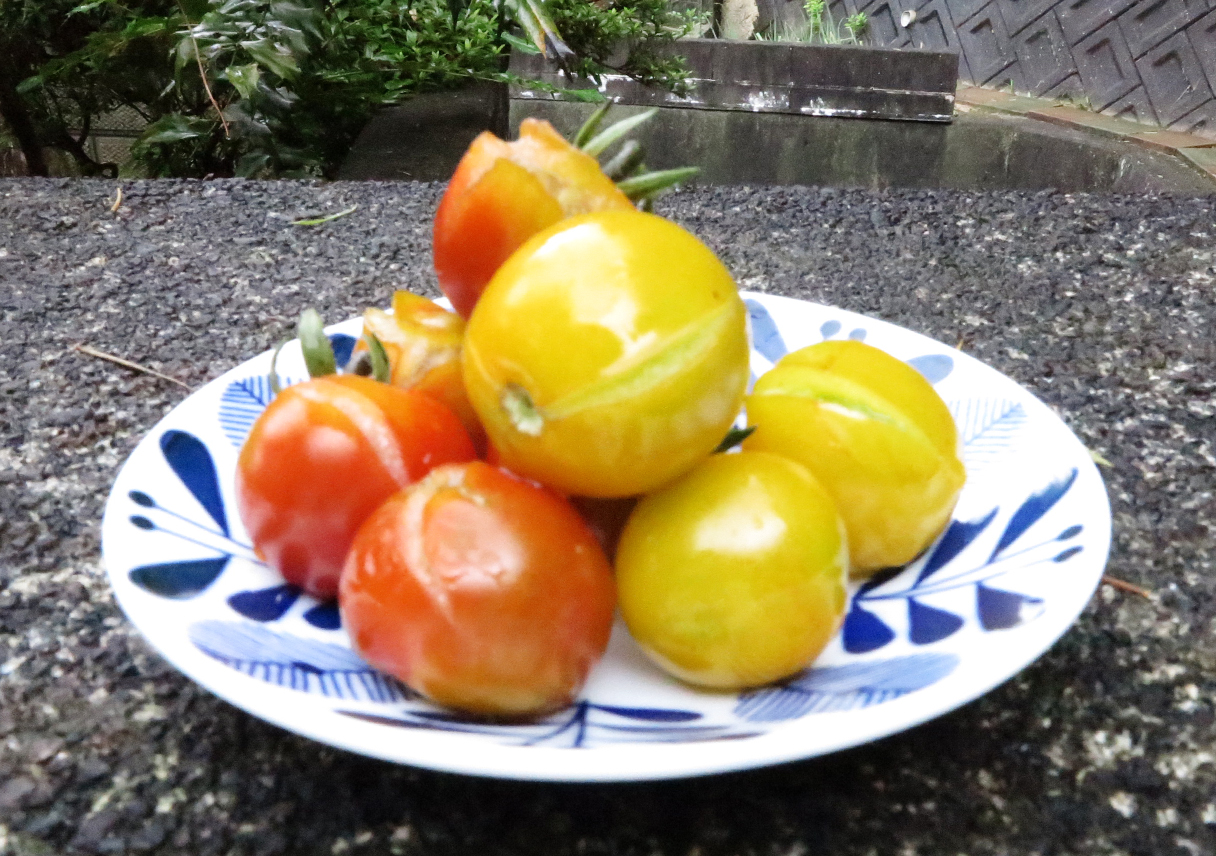 実が裂けたトマト