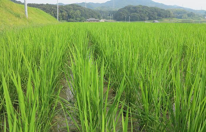 お米作りの様子