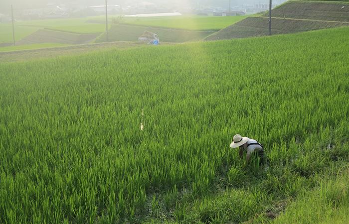 米作りの様子
