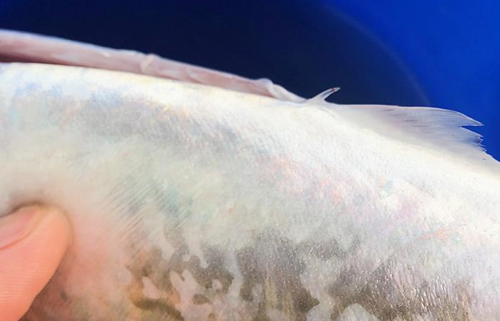 大サバのトゲ