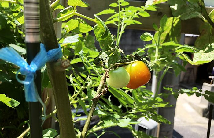 有機種子のトマト
