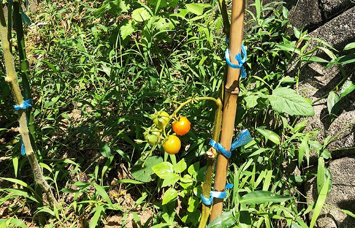 トマトと雑草