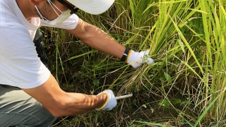 お米の収穫