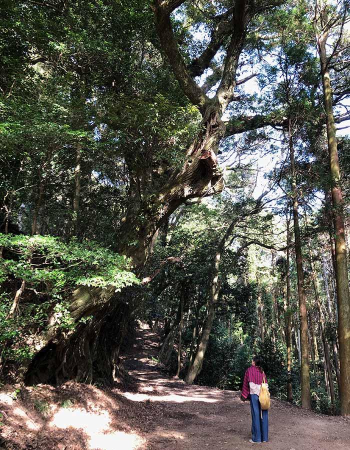 摩耶山鷲峰寺の大木