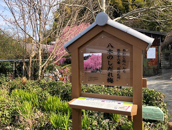 花の札所 第56番 八木のしだれ梅