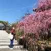 淡路島 大宮寺の梅