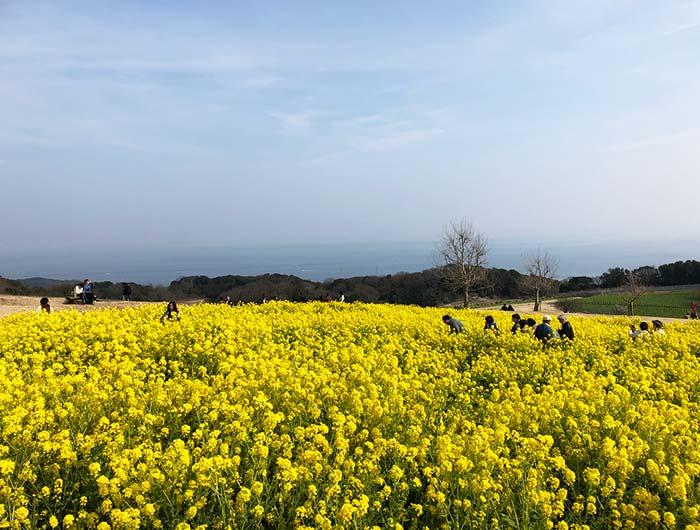 淡路島 あわじ花さじき 菜の花まつり