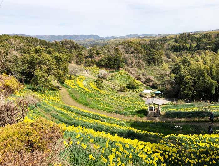 淡路島 水仙の丘が見頃 上から撮影