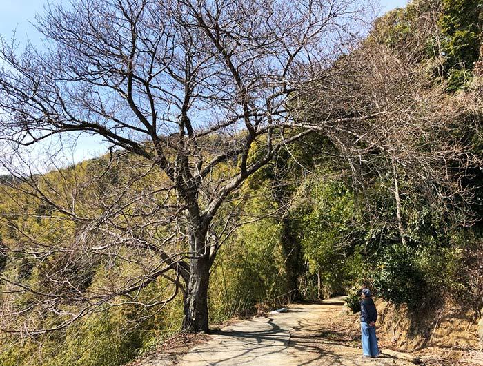 淡路島 御井の清水の水汲みルートで見つけた桜の木