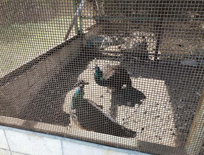 淡路島牧場にいる孔雀