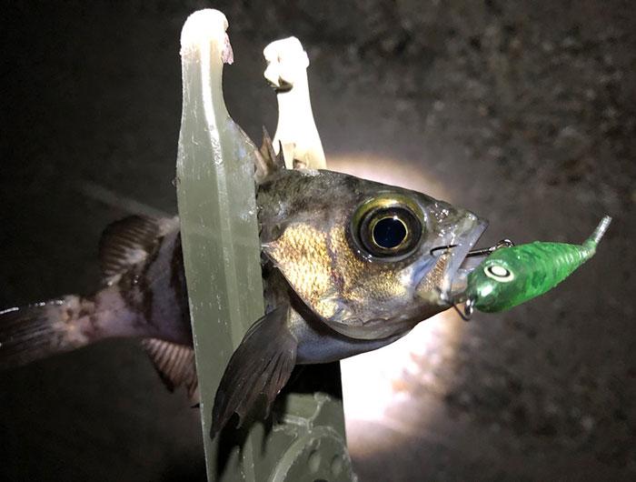 ジェリーサーディンでメバルを釣る