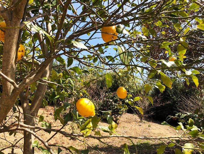 淡路島 御井の清水の水汲みルートで見つけたレモン