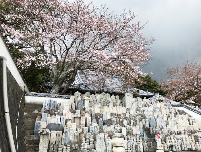妙勝寺の桜