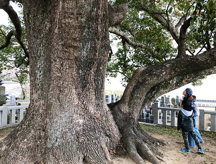 妙勝寺の大楠の木