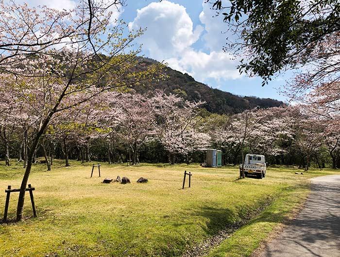鮎屋ダムの桜