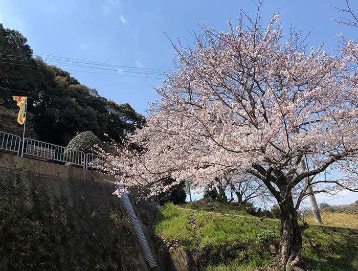 鮎屋の滝の桜