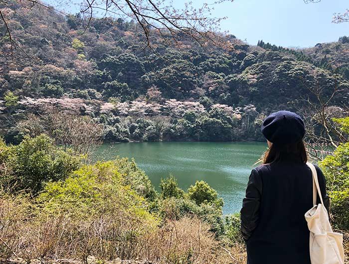 諭鶴羽ダムのソメイヨシノ