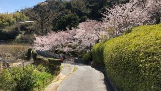 圓城寺の桜