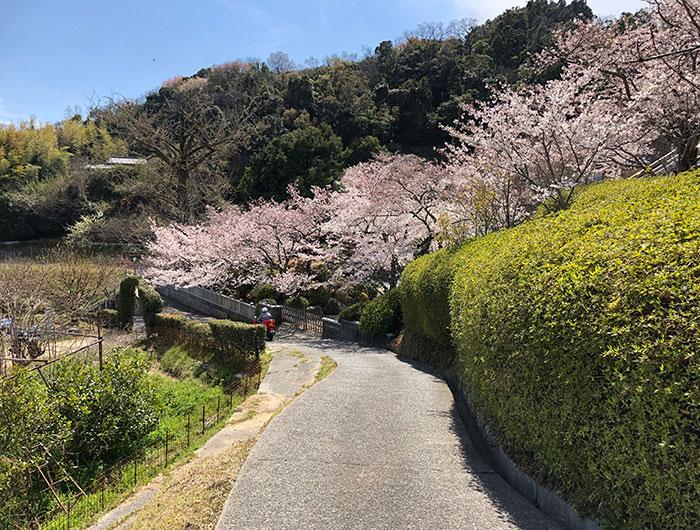 桜に包まれた圓城寺