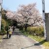 淡路島・伊勢の森神社のお祭りで、桜と獅子舞を観てきました〜😁