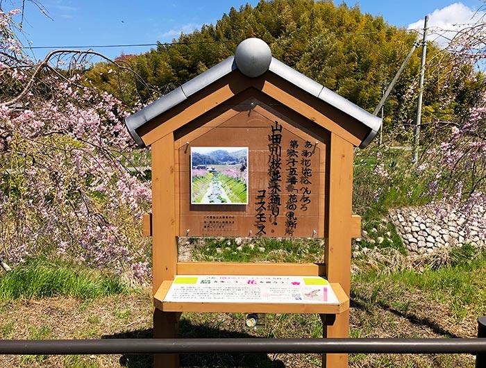 花の札所 第65番 山田川桜並木通り・コスモス