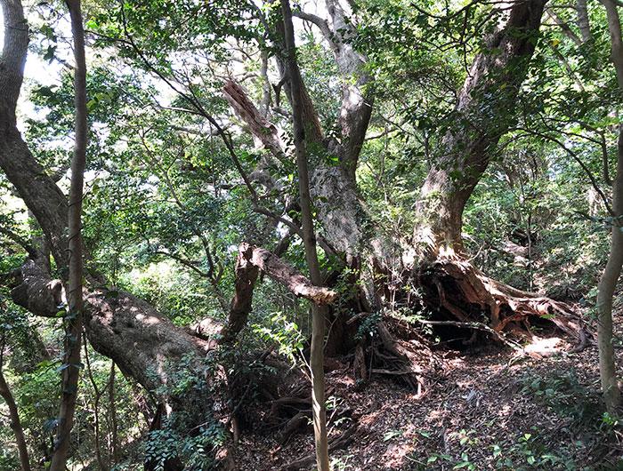 沼島八幡神社 神域の森