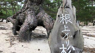 慶野松原・根上がり松