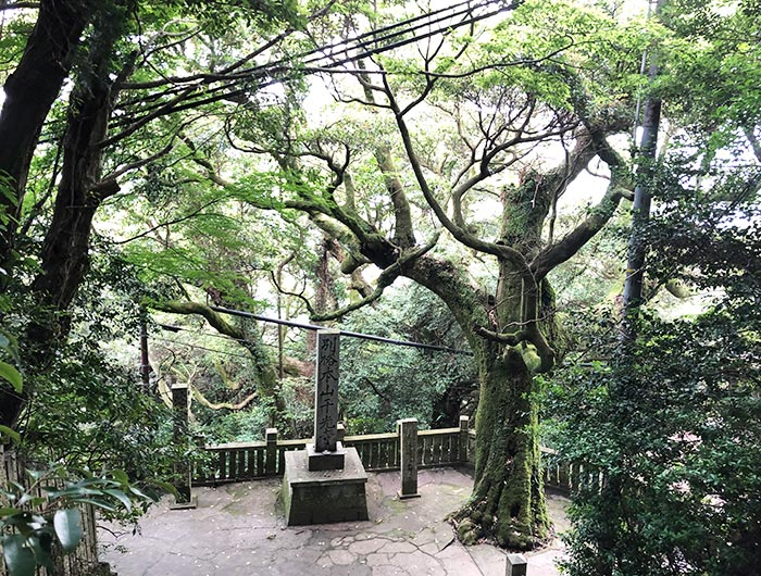 先山千光寺の巨木