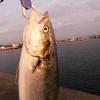 淡路島でタチウオ調査のはずが、、、65cmUPのメジロが釣れた〜😆