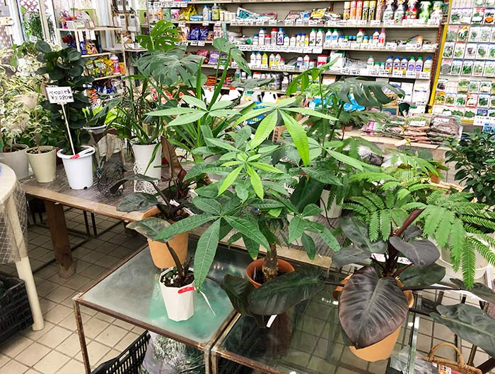 観葉植物 サンたなかの店内