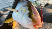 淡路島・洲本で青物調査。撃投ジグで、またもやシオの釣果❗️後半はメッキ探し😁