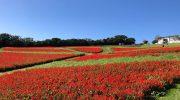 淡路島・あわじ花さじき秋の観光。10月は赤と青のサルビアがピーク。ちらほらコスモスも咲き始めたよ〜😁