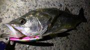淡路島・洲本でシーバス狙い。常夜灯ゲームで初めて75cmが釣れました〜😁