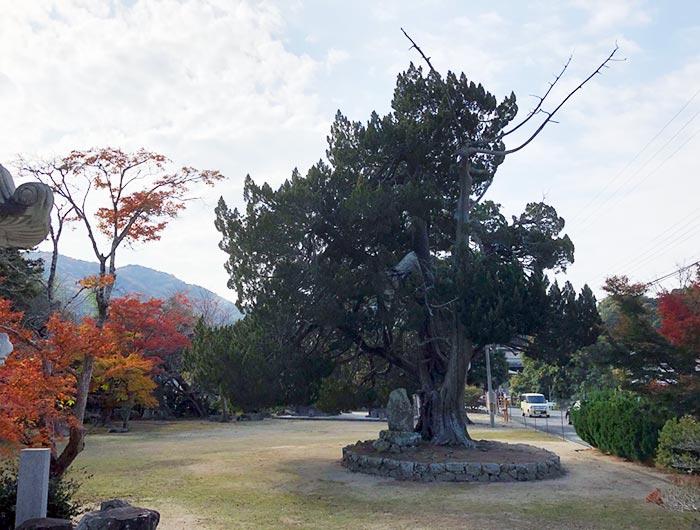 成相寺のイブキ