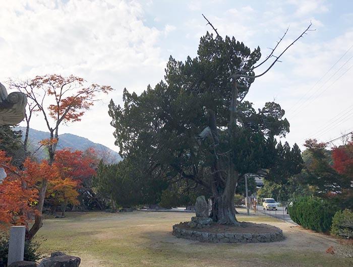 成相寺の大木