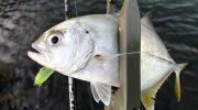 淡路島・洲本でメッキ狙い。11月もまだジェリーサーディンで釣れますよ〜😁