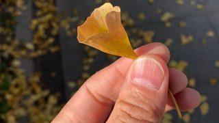 幸せのラッパイチョウの葉