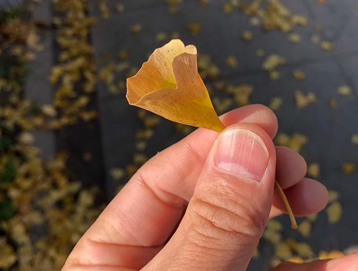 ラッパイチョウの葉