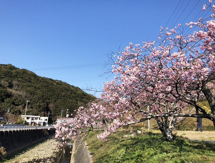 淡路島・宇原の緋寒桜(ヒカンザクラ)