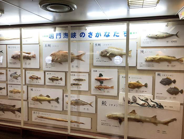 鳴門海峡で漁れた魚の剥製展