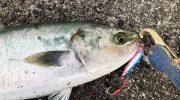淡路島でハマチの釣果。青物がまわってそうですね😁今朝はメタルジグ❗️