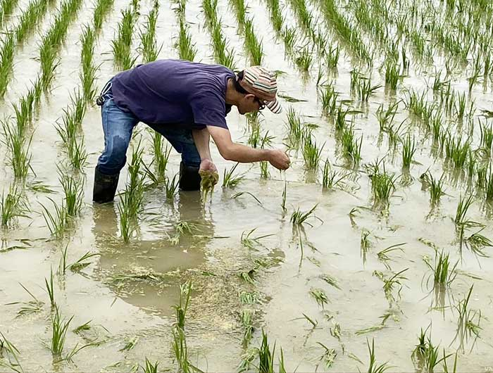 田んぼで除草作業中