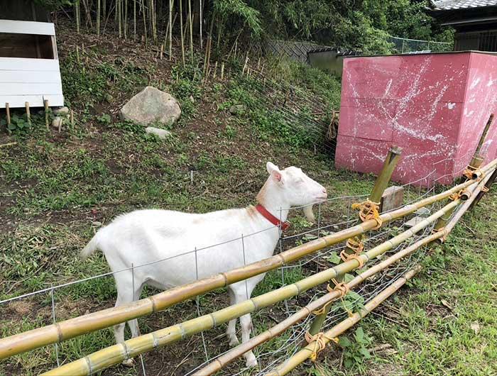 北坂養鶏場の山羊 くるめ