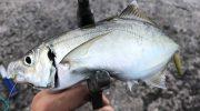 淡路島・ジグサビキでメクリアジ狙い❗️トップゲームもそろそろ釣れるのか⁉️