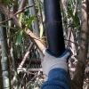 黒竹(くろちく)