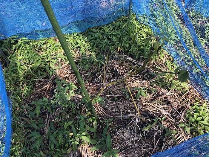 枯れたアボカドの苗木
